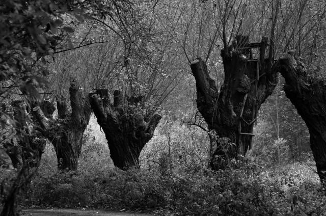 Vrby v Drahaňském údolí jsou starými pamětníky dob, kdy v těch místech stával drahaňský mlýn